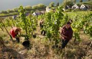 Ein Riesling aus Norwegen - Weinbau im Klimastress
